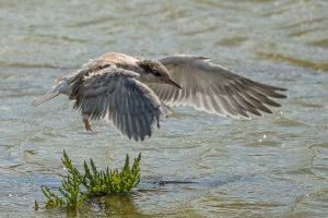 junge Seeschwalbe 0916