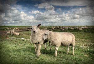 Schafe auf der Hamburger Hallig