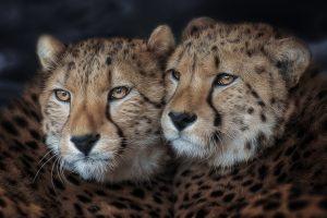 Geparden Sister