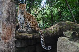 Chinesischer Leopard_9042