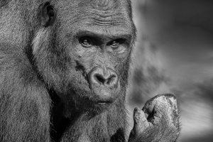 Gorilla 2792