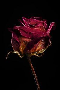 Rose_2427-2