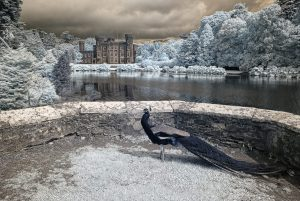 Pfau vor Johnstown Castle, Co Wexford_4073 IR